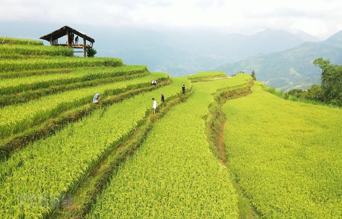 Ruộng bậc thang ở ở Hoàng Su Phì (Hà Giang) thu hút rất nhiều khách du lịch. (Ảnh: Nguyễn Chiến/TTXVN)