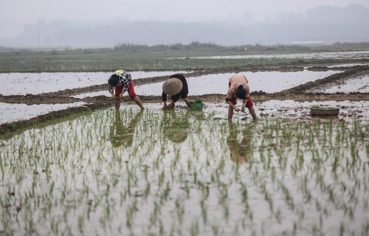 Nông dân xã Nhuận Trạch, huyện Lương Sơn, Hòa Bình, khẩn trương cấy lúa Xuân trong những ngày giáp Tết. (Ảnh: Trọng Đạt/TTXVN)