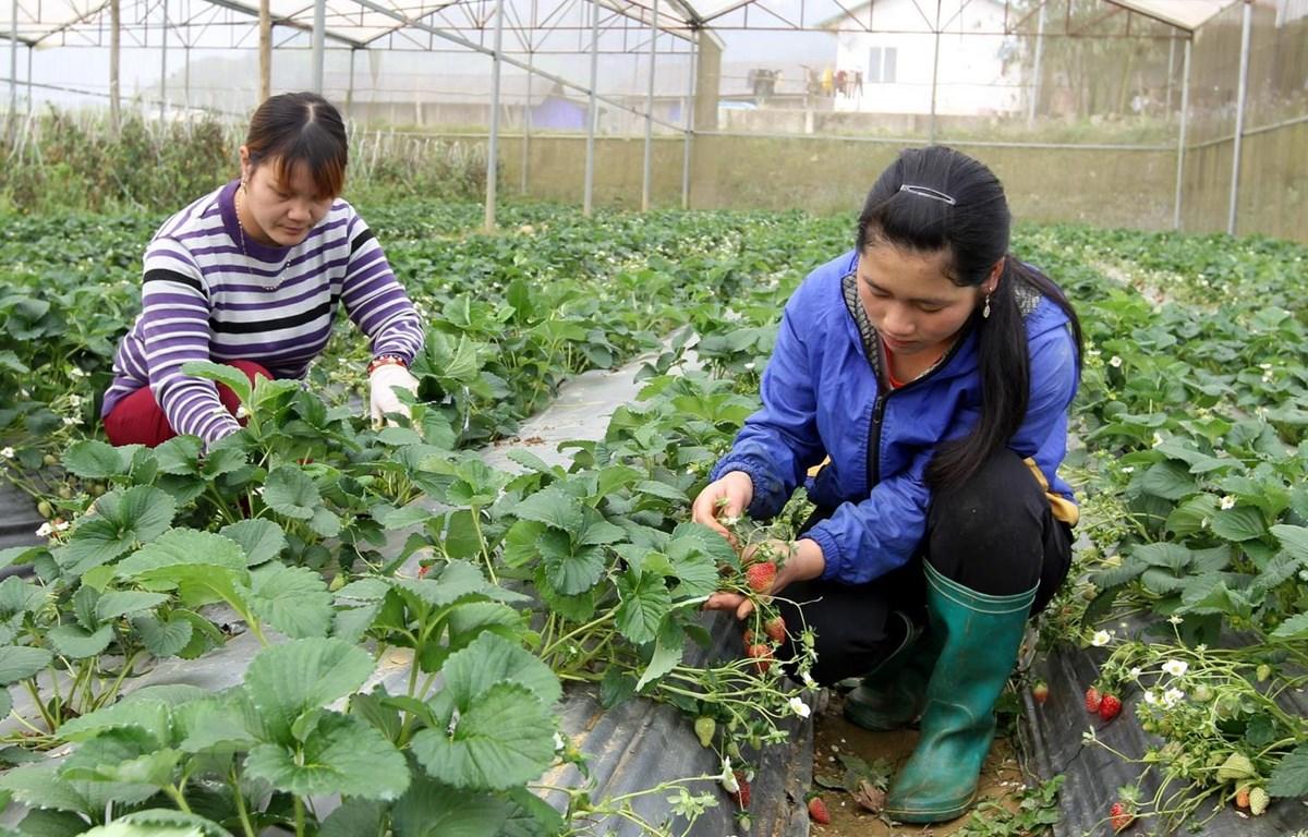 Nông dân xã Tả Chải (Bắc Hà, Lào Cai) chăm sóc vườn dâu tây Hàn Quốc trong nhà kính. (Ảnh: Quốc Khánh/TTXVN)
