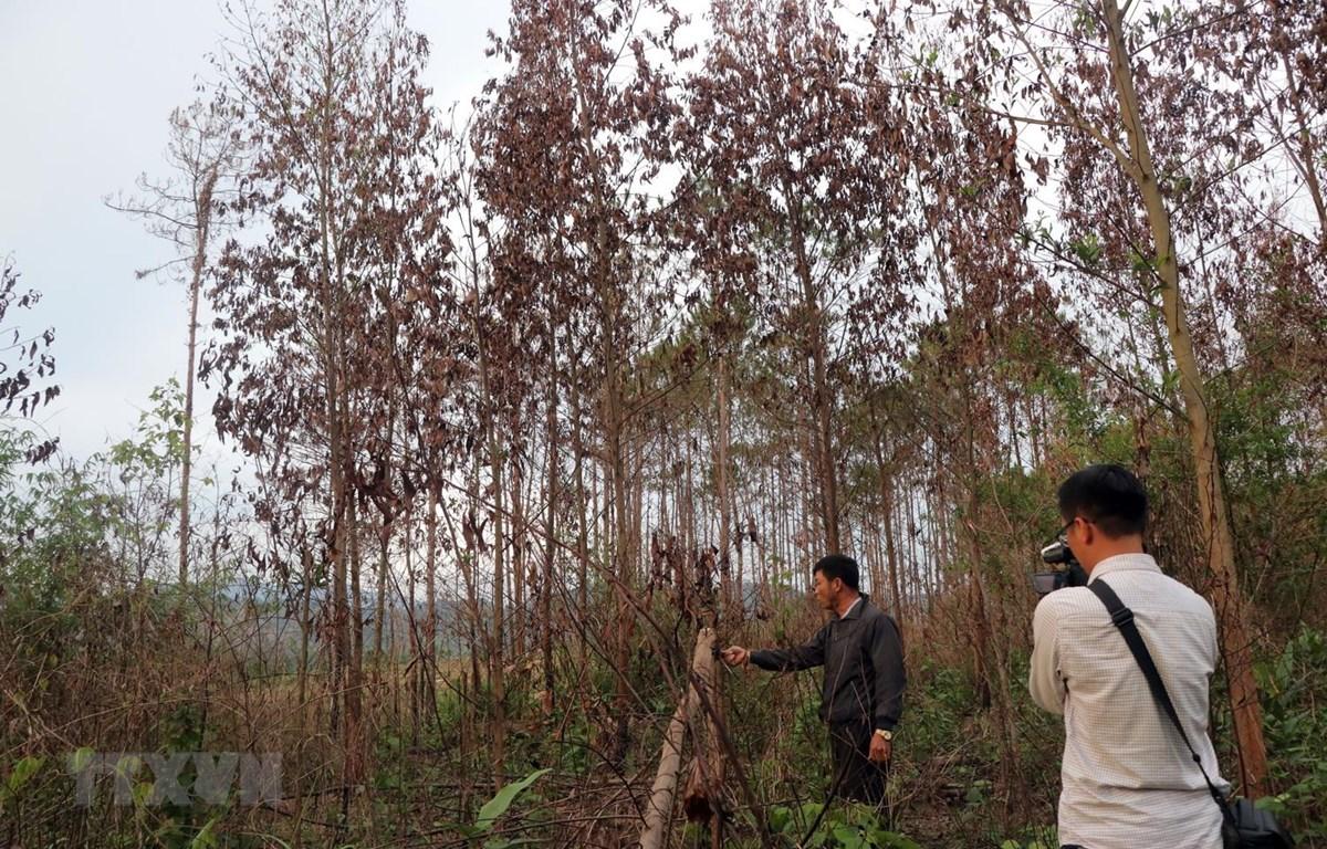 Khu vực này đã từng bị lâm tặc chặt phá thông, đã trồng keo vào chống lấn chiếm, nhưng cũng bị lâm tặc đốt trụi. (Ảnh: Quốc Hùng-Đặng Tuấn/TTXVN)