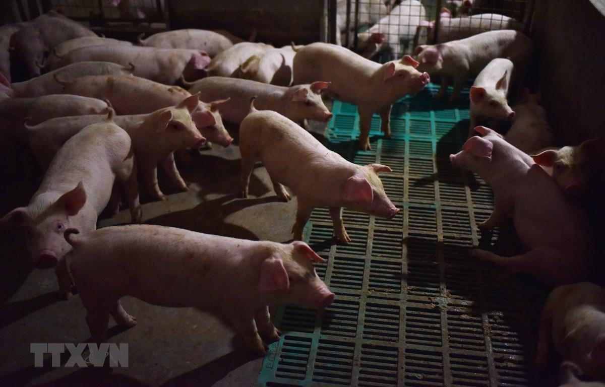 Một trang trại nuôi lợn ở huyện Yiyang, tỉnh Hà Nam, Trung Quốc. (Ảnh: AFP/TTXVN)