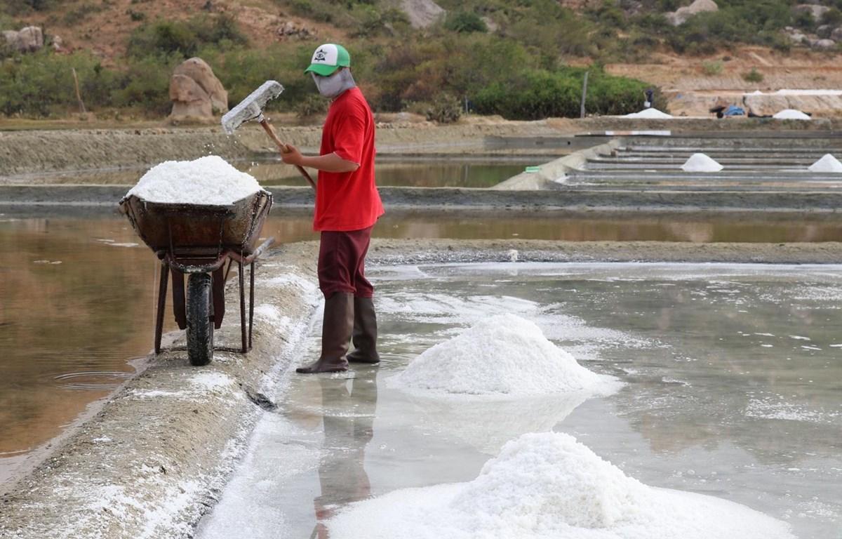 Diêm dân huyện Ninh Hải thu hoạch muối. (Ảnh: Nguyễn Thành/TTXVN)