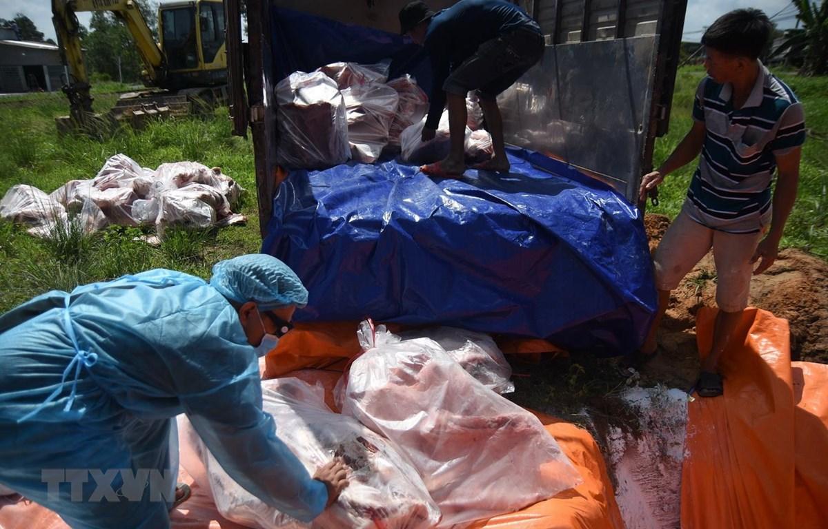 Tất cả số thịt lợn dương tính với virus dịch tả lợn châu Phi được tiêu hủy bằng cách chôn lấp. (Ảnh: Lê Xuân/TTXVN)