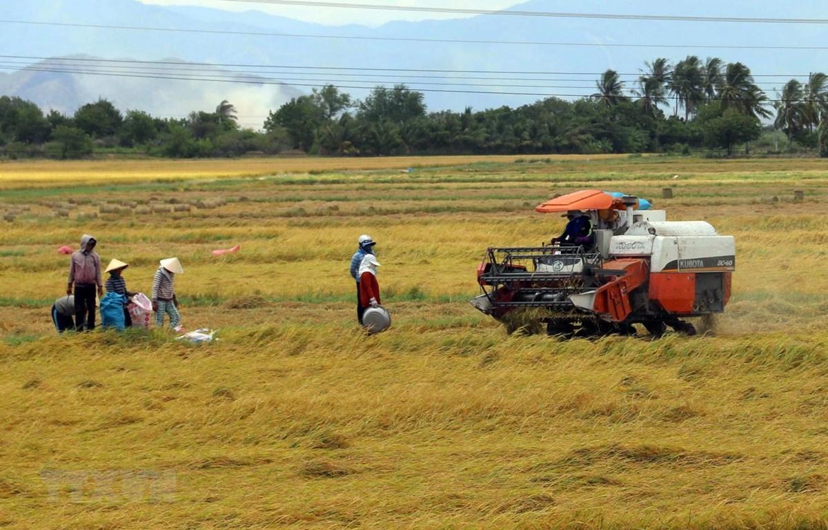 Nông dân thu hoạch lúa Hè Thu. (Ảnh: Công Thử/TTXVN)