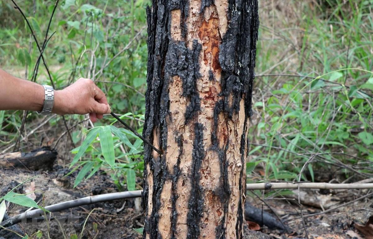 Lâm tặc dùng máy khoan lỗ vào gốc cây rồi bơm thuốc diệt cỏ để hạ độc. (Ảnh: Quốc Hùng-Đặng Tuấn/TTXVN)