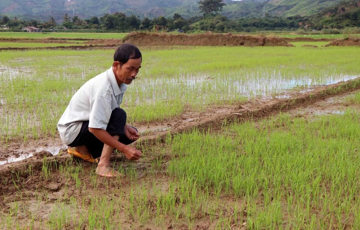 Lúa trên cánh đồng buôn Sứk gieo sạ muộn hơn năm trước do thiếu hụt nguồn nước. (Ảnh: Hưng Thịnh/TTXVN)