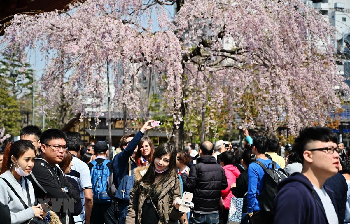 Khách du lịch ngắm hoa anh đào tại Tokyo của Nhật Bản, ngày 27/3 vừa qua. (Ảnh: AFP/TTXVN)