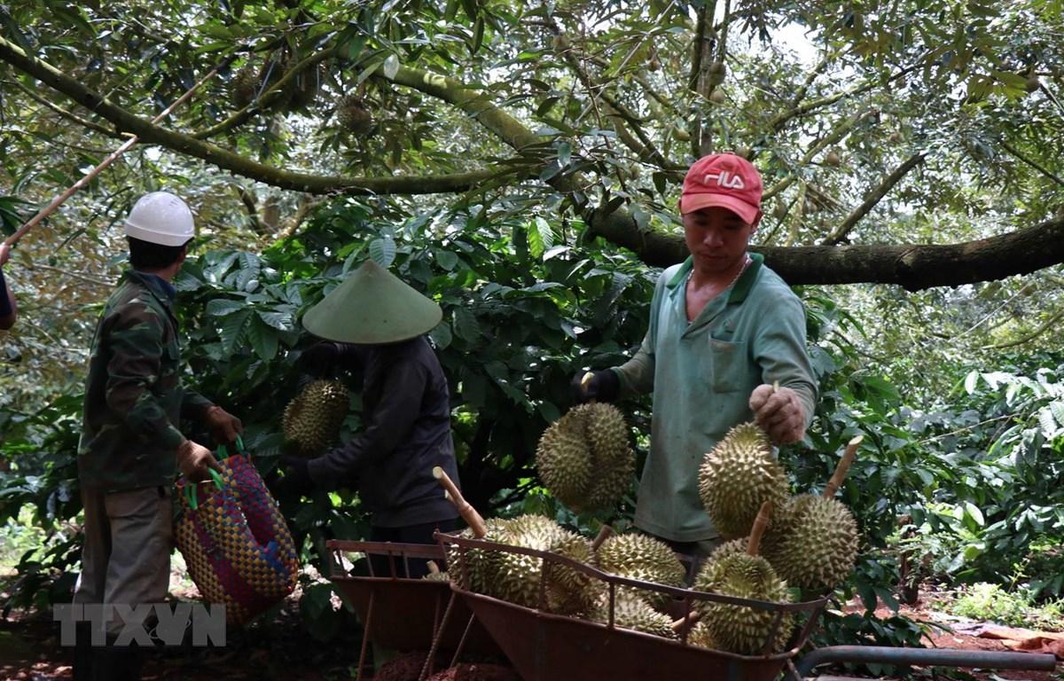 Nông dân huyện Krông Pắk, tỉnh Đắk Lắk thu hoạch sầu riêng. (Ảnh: Tuấn Anh/TTXVN)