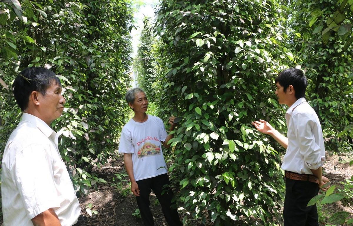 Người dân ấp Tân Hưng, xã Phước Thiện, huyện Bù Đốp lo lắng khi tiêu ra trái ít hơn rất nhiều so với vụ mùa 2018. (Ảnh: K GỬIH/TTXVN)