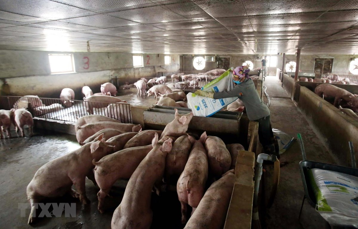 Nông dân chăm sóc đàn lợn theo mô hình VietGap. (Ảnh: TTXVN)