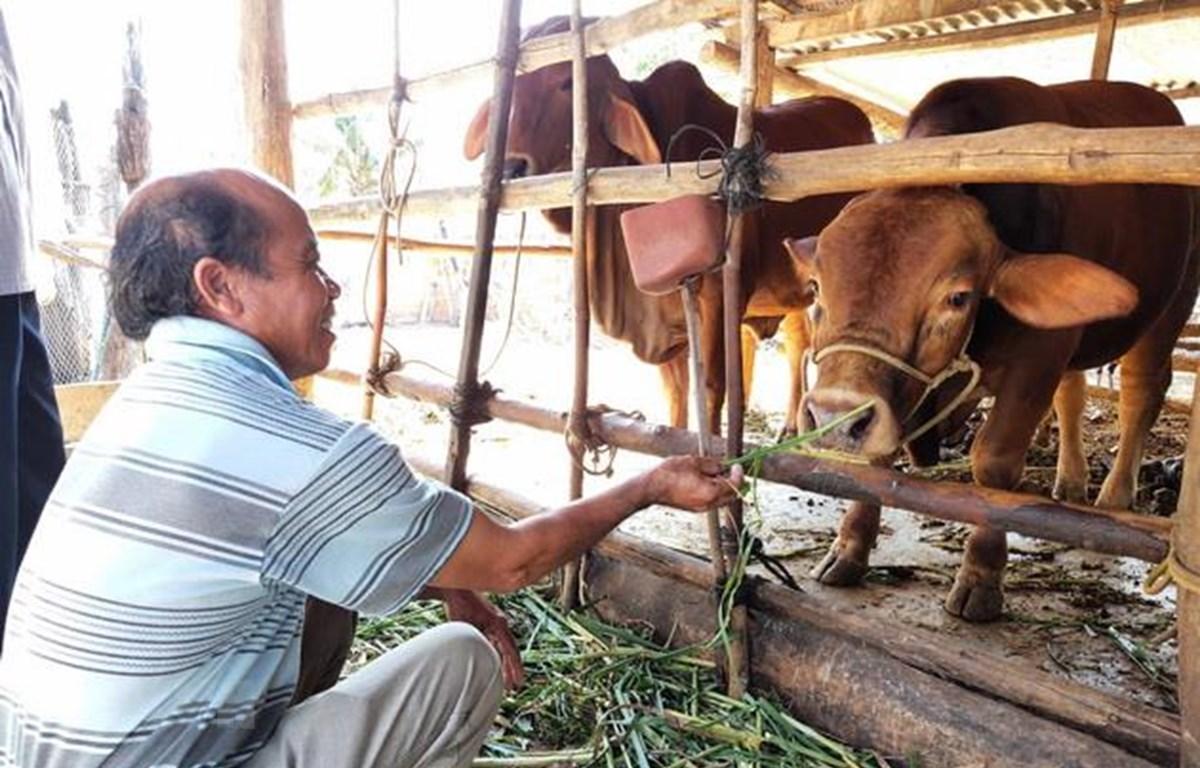 Nông dân chăm sóc đàn bò lai từ dự án Phát triển giống bò thịt chất lượng cao. (Ảnh: Dư Toán/TTXVN)