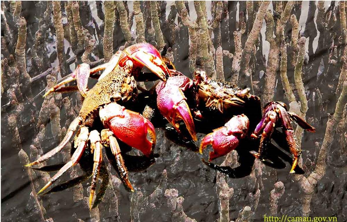 Ba khía sống dưới tán rừng ngập mặn. (Nguồn: camau.gov)