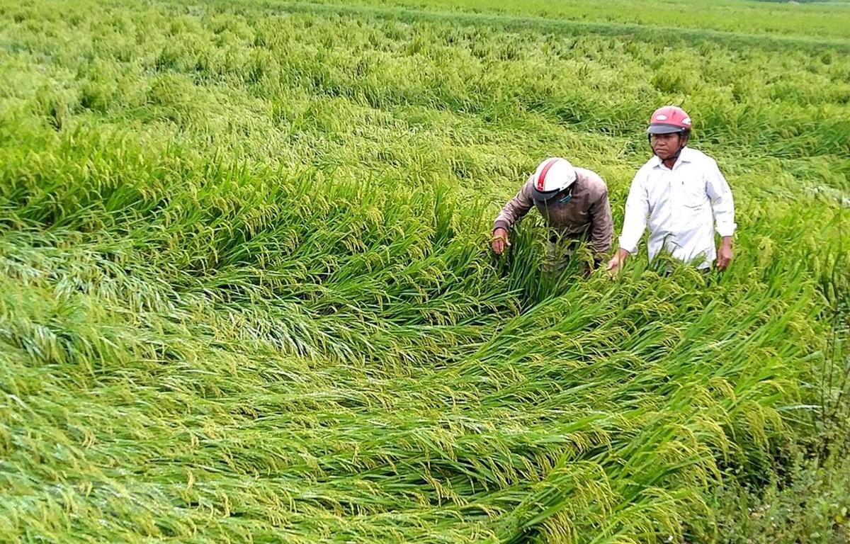 Lúa chuẩn bị thu hoạch thì bị ngã đổ tại huyện Phong Điền. (Ảnh: Tường Vi/TTXVN)