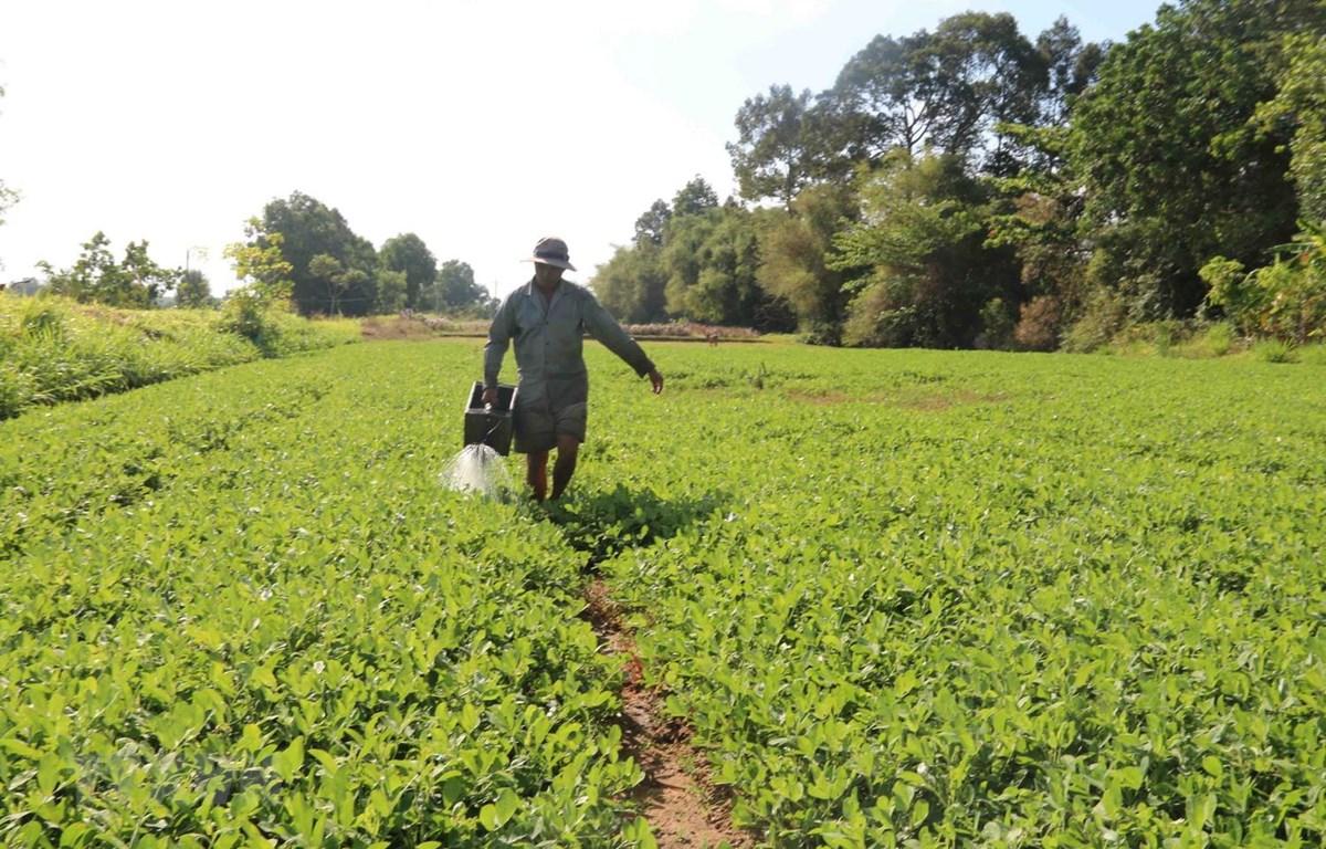 Nông dân huyện Châu Thành, tỉnh Trà Vinh chuyển đổi sang trồng lạc cho hiệu quả cao hơn gấp 3 lần so với trồng lúa. (Ảnh: Thanh Hòa/TTXVN)