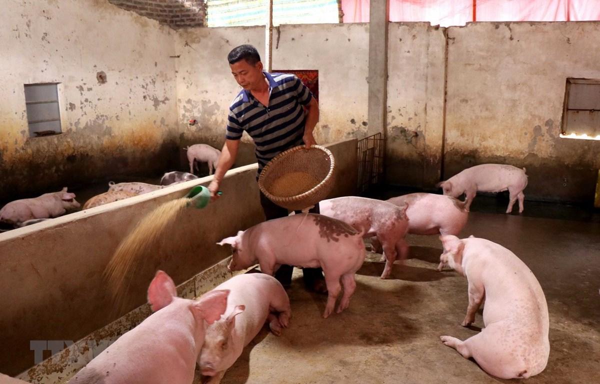 Người chăn nuôi lợn tái đàn sau bệnh dịch tả lợn châu Phi. (Ảnh: TTXVN)