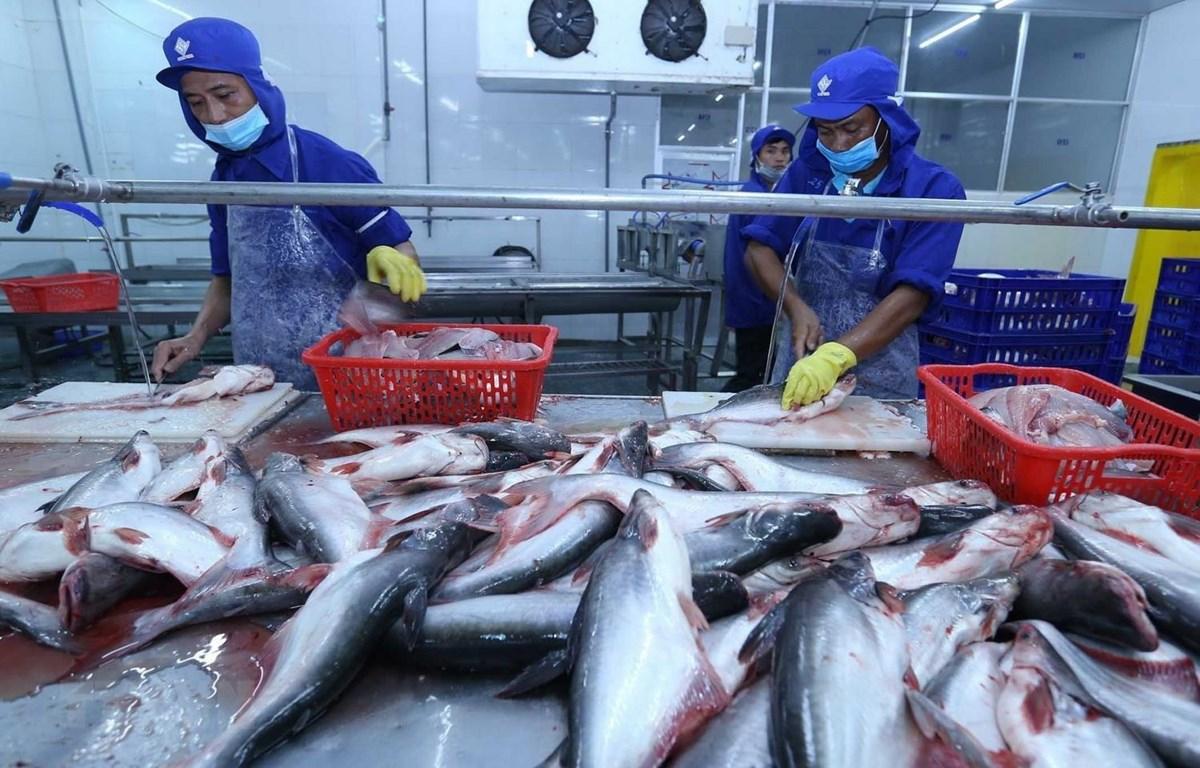 Chế biến cá tra xuất khẩu của Việt Nam. (Ảnh: Vũ Sinh/TTXVN)