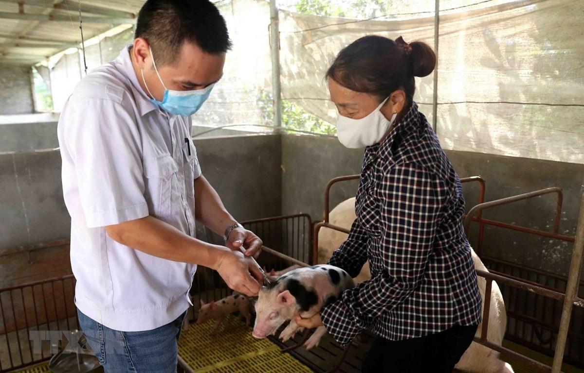 Hộ chăn nuôi lợn Nguyễn Văn Hưởng, thị trấn An Lương, huyện Nam Sách, chuẩn bị nguồn con giống phục vụ tái đàn lợn sau bệnh dịch tả lợn châu Phi theo quy định của ngành Nông nghiệp. (Ảnh: Vũ Sinh/TTXVN)