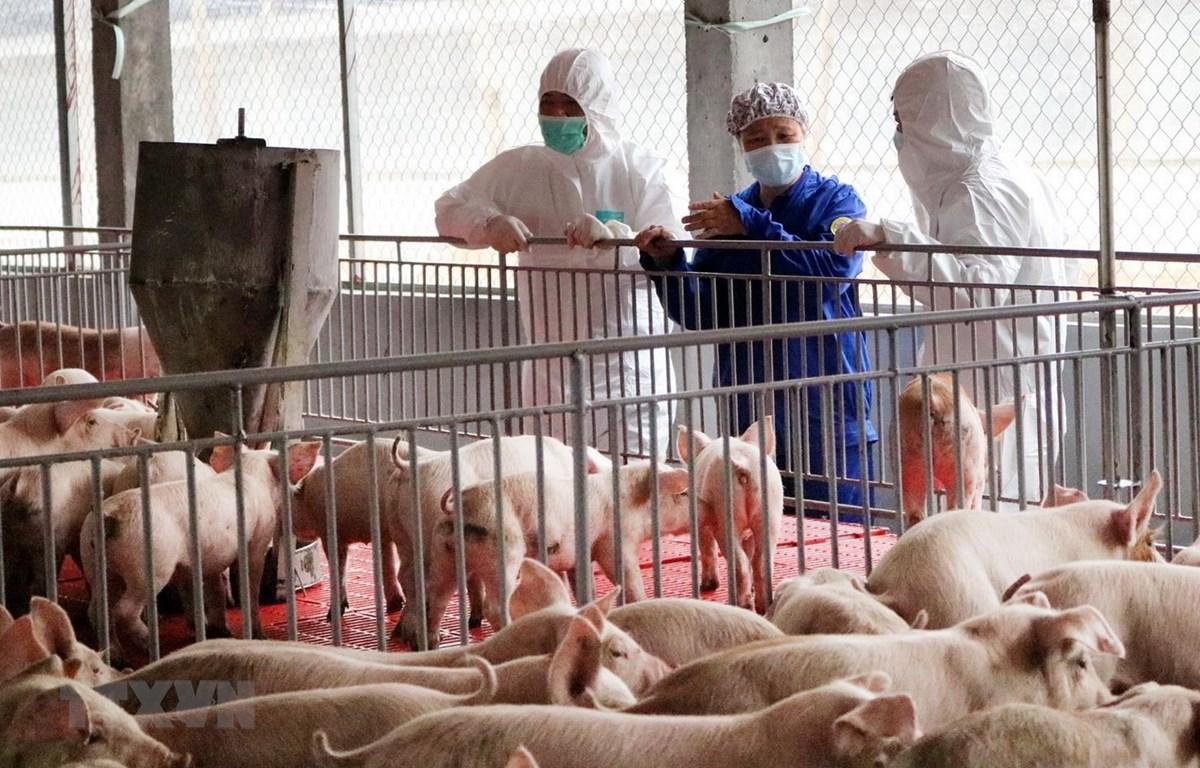 Đoàn công tác của Bộ Nông nghiệp và Phát triển Nông thôn kiểm tra một trang trại lợn nái. (Ảnh: Trung Kiên/TTXVN)