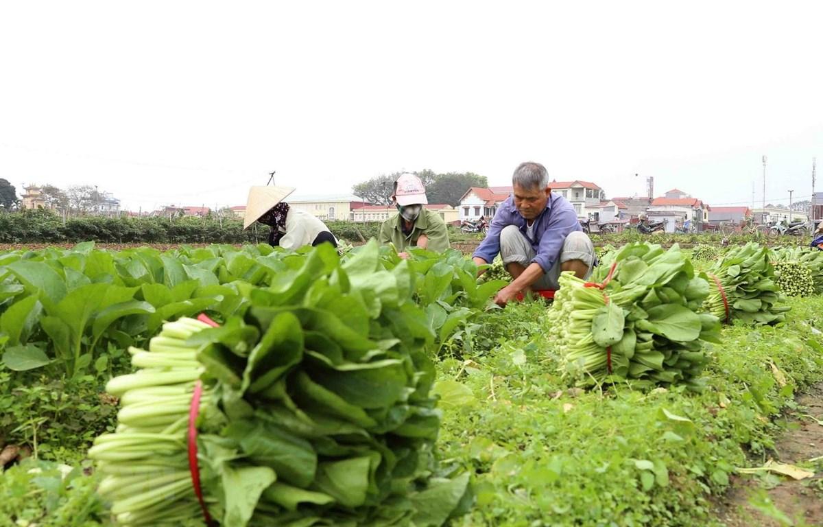 Thu hoạch rau xanh cung cấp cho thị trường Hà Nội. (Ảnh: Vũ Sinh/TTXVN)