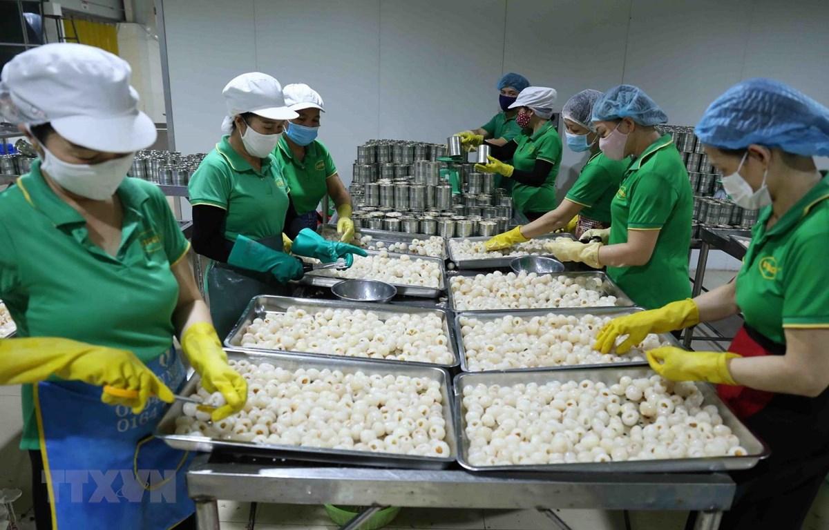 Công đoạn sơ chế quả vải thiều tươi xuất khẩu của Công ty Cổ phần Xuất nhập khẩu Vifoco, tỉnh Bắc Giang. (Ảnh: Vũ Sinh/TTXVN)