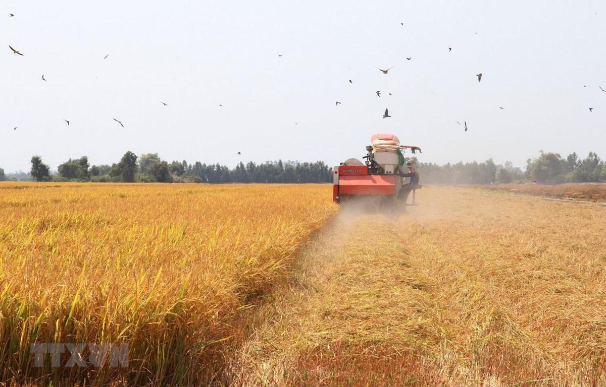 Thu hoạch lúa Đông Xuân năm 2019-2020 tại xã Thạnh Lợi, huyện Tháp Mười, tỉnh Đồng Tháp. (Ảnh: TTXVN)