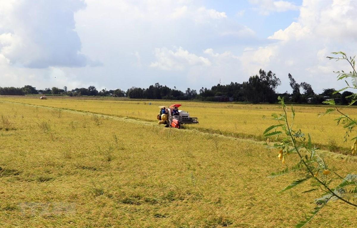 Thu hoạch lúa Hè Thu 2020 ở xã Mỹ Hiệp Sơn, huyện Hòn Đất, tỉnh Kiên Giang thuộc vùng dự án VnSAT. (Ảnh: Lê Huy Hải/TTXVN)