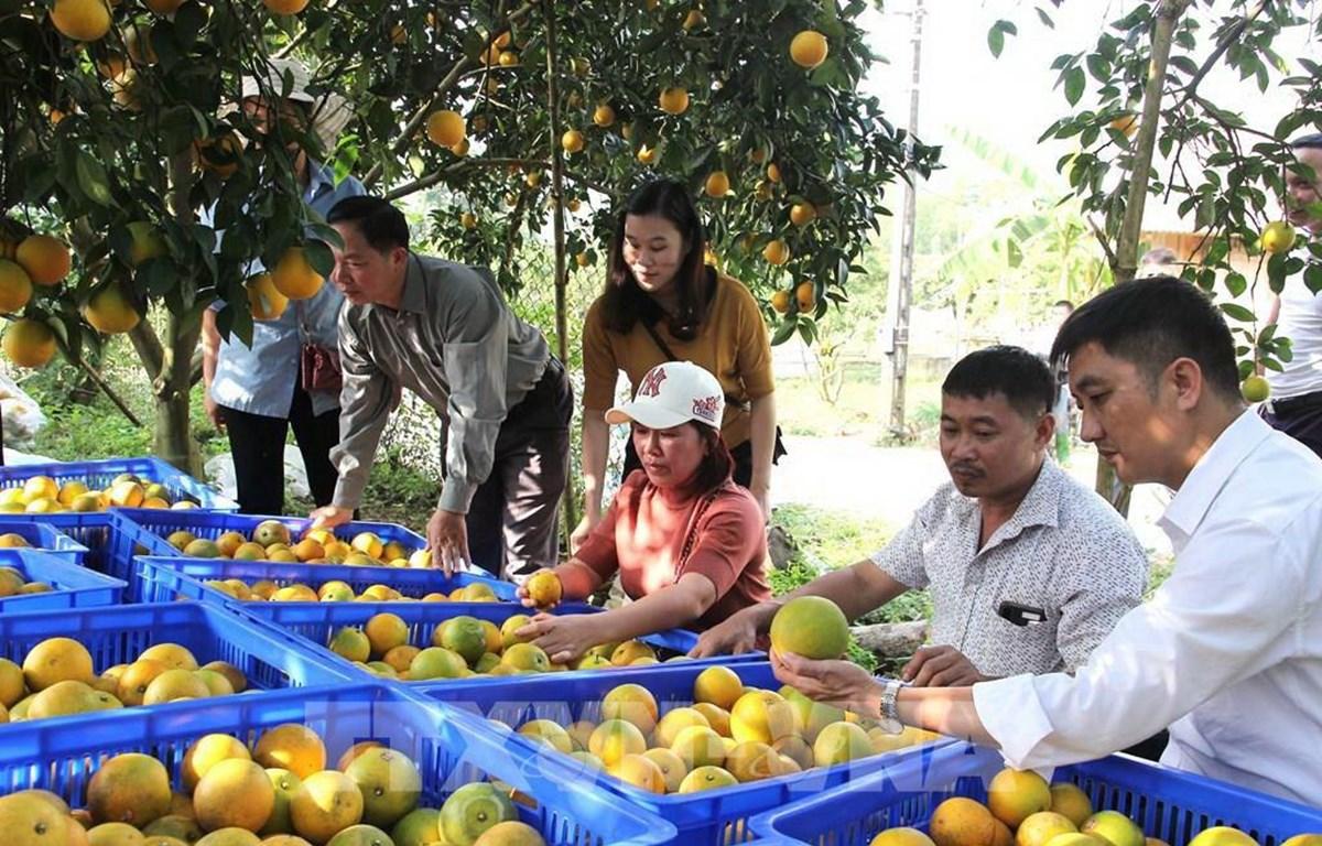 Kiểm tra công tác đóng gói, dán nhãn trước khi cung ứng, tiêu thụ cam lòng vàng Hà Giang. (Ảnh: TTXVN)