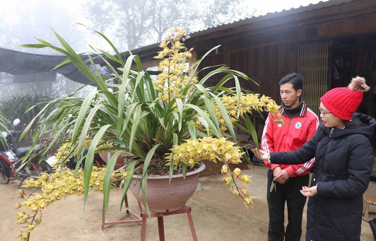 Chậu địa lan được bày bán với giá 20 triệu đồng. (Ảnh: Nguyễn Oanh/TTXVN)