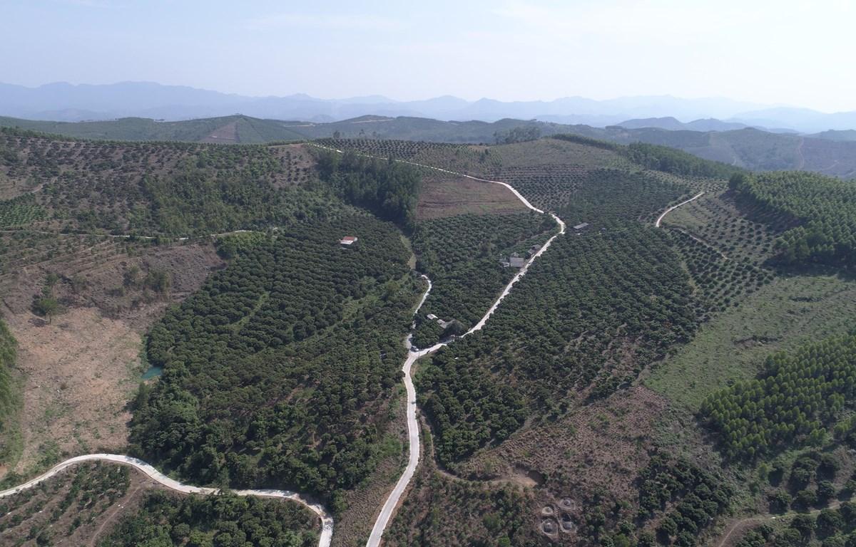 Vùng vải thiều xuất khẩu đi Nhật Bản tại huyện Lục Ngạn, tỉnh Bắc Giang