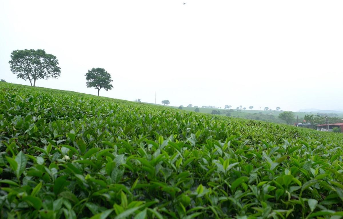 Những đồi chè xanh mướt là một trong những đặc trưng của huyện miền núi Mộc Châu.
