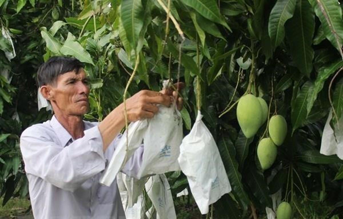 Vùng trồng xoài Cao Lãnh (Ảnh: TTXVN phát)