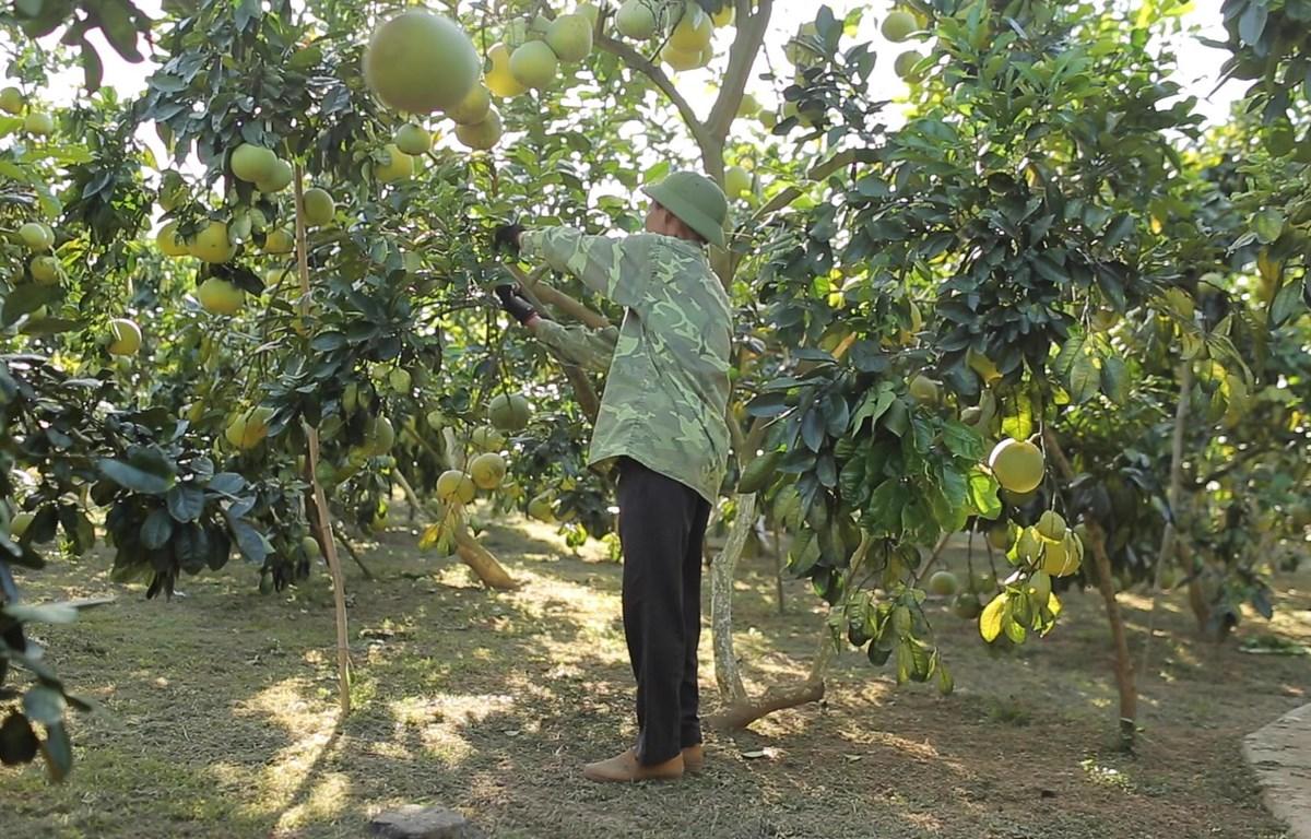 Nhiều hộ dân tham gia sản xuất nông nghiệp hữu cơ. (Ảnh: Lâm Phan/Vietnam+)