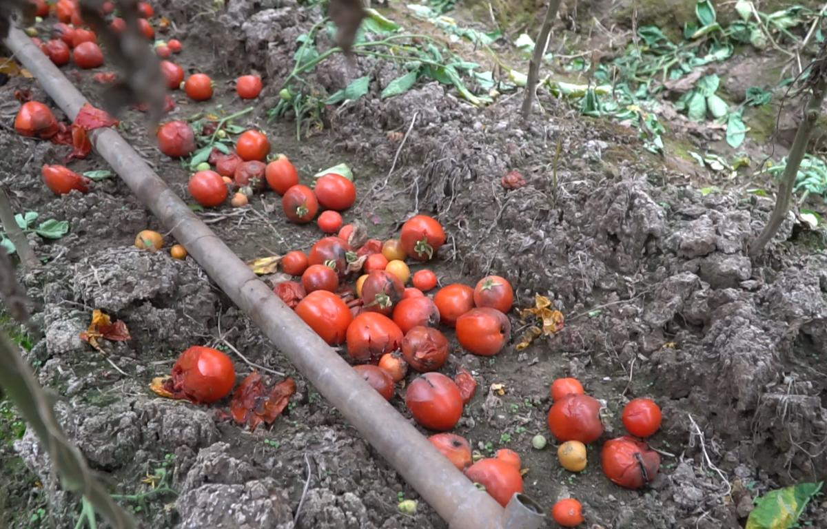 Một ruộng cà chua tại Mê Linh, Hà Nội (Ảnh: Lâm Phan/Vietnam+)