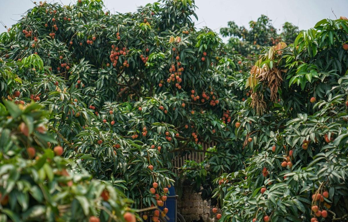 Vải sớm ở một số vùng tại Bắc Giang đã bắt đầu vào thời kỳ thu hoạch (Ảnh: Lâm Phan/Vietnam+)