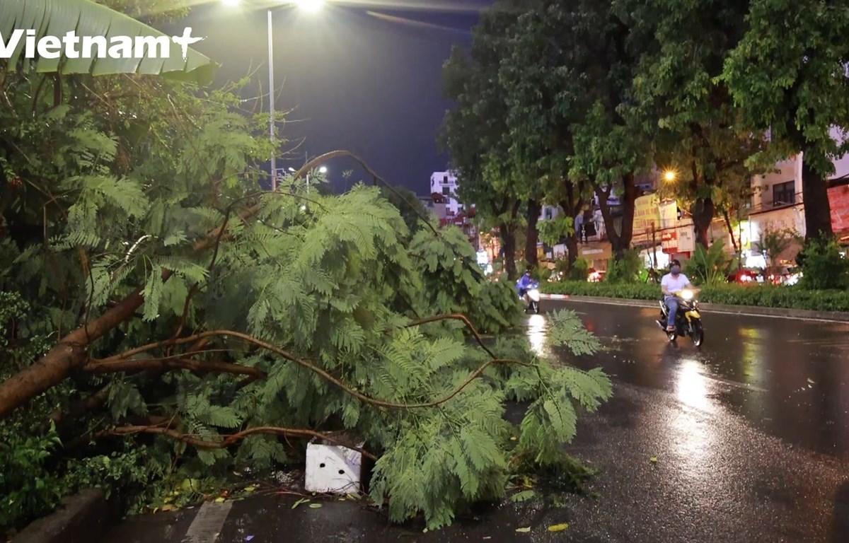 Cây phượng đổ trên đường Láng sau trận mưa (Ảnh: Hoàng Đạt/Vietnam+)