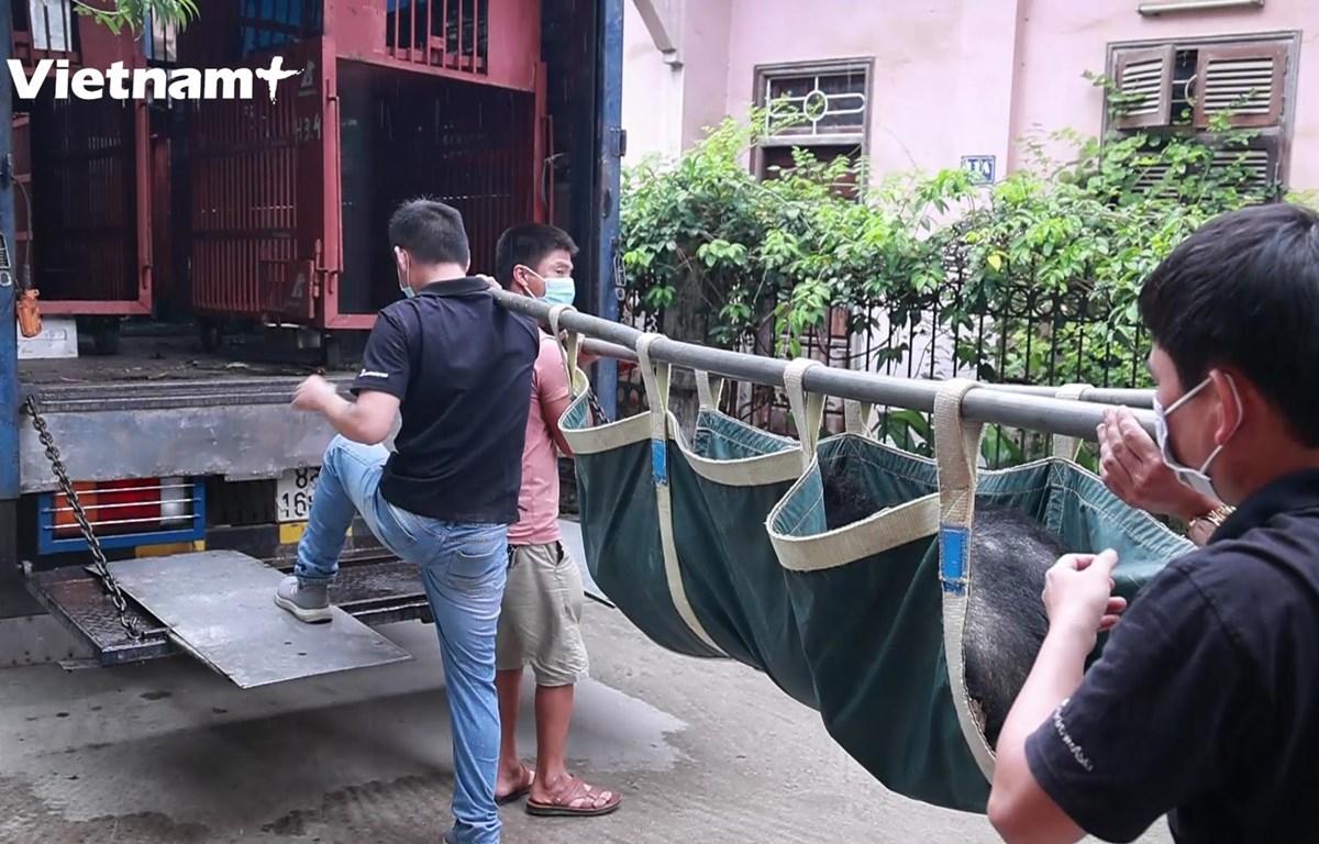 Các cá thể gấu được gây mê trước khi di chuyển khoảng 200km từ Lạng Sơn về trung tâm cứu hộ. (Ảnh: Hoàng Đạt/Vietnam+)