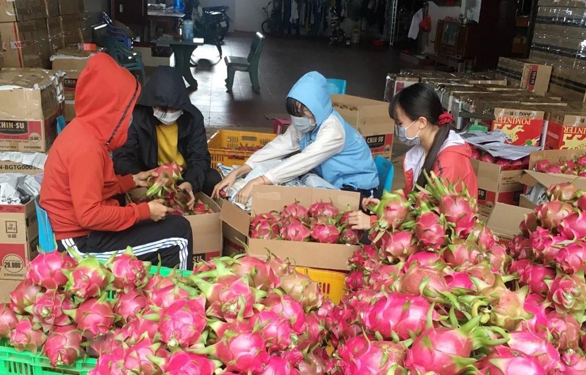 Gia đình chị Trần Thị Thu Thảo (xã Cư Êbur, thành phố Buôn Ma Thuột) thu hoạch thanh long. (Ảnh: Hoài Thu/TTXVN)