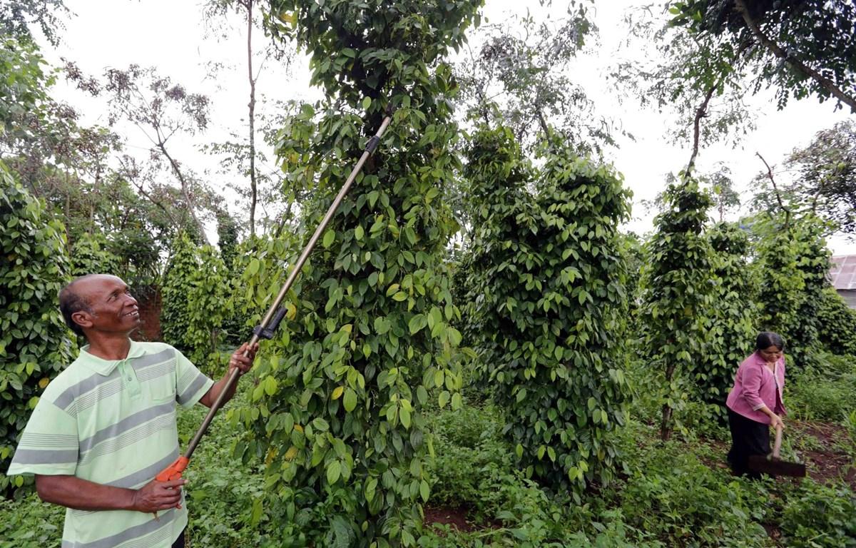 Gia đình ông Yaga, dân tộc K'ho ở xã Tân Hội, huyện Đức Trọng (Lâm Đồng) được vay 30 triệu đồng đầu tư chăm sóc cà phê và hồ tiêu. (Ảnh: Trần Việt/Vietnam+)