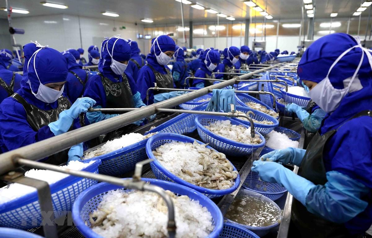 Chế biến tôm đông lạnh xuất khẩu của Công ty Cổ phần Chế biến thủy sản xuất khẩu Thuận Phước. (Ảnh: Vũ Sinh/TTXVN)