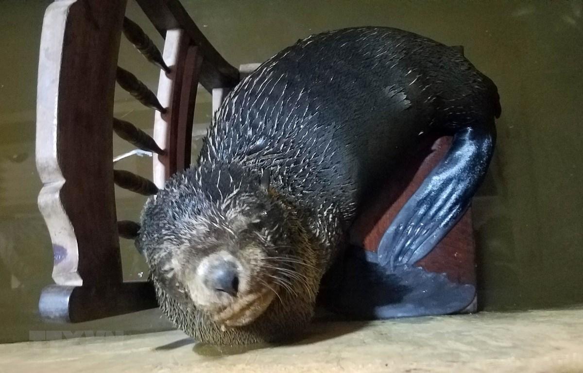 Con vật nghi là sư tử biển đang được chăm sóc tại gia đình ông Phăng. (Ảnh: Hồ Cầu/TTXVN)