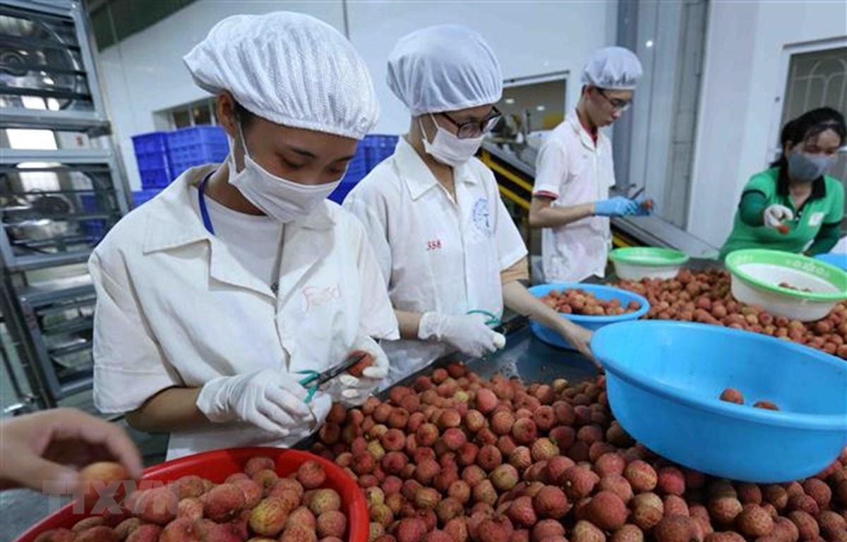 Phân loại quả vải thiều tươi đủ tiêu chuẩn xuất khẩu vào thị trường Nhật Bản tại nhà máy của Công ty Cổ phần Xuất nhập khẩu thực phẩm Toàn Cầu. (Ảnh: Vũ Sinh/TTXVN)