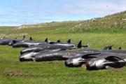 Hơn 50 cá voi hoa tiêu đã chết do mắc cạn tại New Zealand