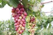 Công nhận giống nho mới được đưa vào sản xuất tại Ninh Thuận