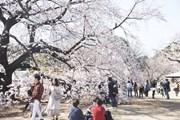 [Photo] Người dân Nhật Bản tụ tập ngắm hoa anh đào giữa dịch COVID-19
