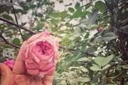 [Photo] Ngắm khu vườn hoa hồng cổ Việt Nam vừa được thế giới vinh danh