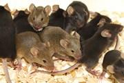 """Italy: Chính quyền """"phát hoảng"""" vì Rome có quá nhiều chuột"""
