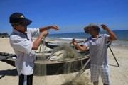 Cá nóc xuất hiện nhiều bất thường tại vùng biển Thừa Thiên-Huế