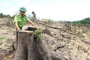 Hoãn phiên tòa xét xử vụ phá rừng quy mô lớn nhất tại Bình Định