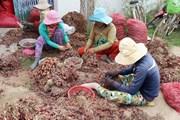 Hành tím mất giá mạnh so với năm ngoái, nông dân Ninh Thuận gặp khó