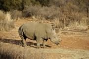 Nam Phi: Số lượng tê giác bị giết trộm để lấy sừng giảm đáng kể